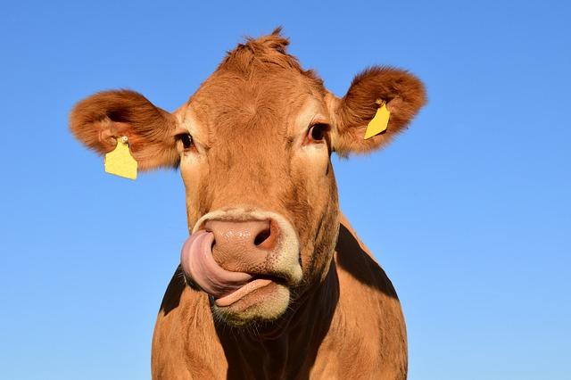 hlava krávy