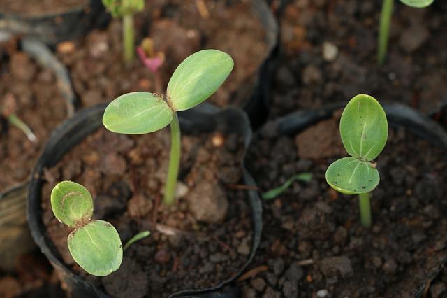 mladé rostlinky v květináčích